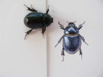 A scarab beetle inspects his watercolour portrait by artist Shevaun Doherty (Doodlewash)