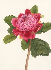 Doodlewash by Jane Blundell - Waratah, full sheet watercolour painting watercolor, aquarelle of pink flower