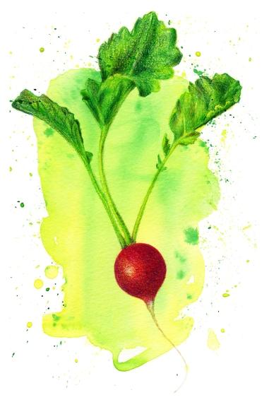 Doodlewash and watercolor sketch by Koosje Koene Sketchbook Skool of red radish with leaves