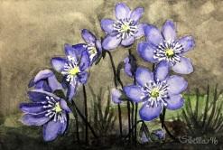Doodlewash and watercolor painting by Sibella of purple Hepatica Flowers
