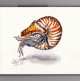A Living Nautilus Shell Doodlewash of chambered Nautilus on white background ocean living fossil