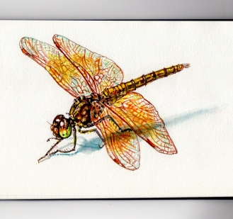 The Dragonfly Doodlewash and watercolor sketch on white background with shadow