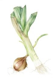 Doodlewash - Watercolor botanical illustration by Jarnie Godwin of alliums