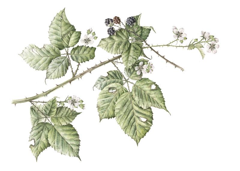 Doodlewash - Watercolor botanical illustration by Jarnie Godwin of leaves