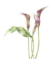 Doodlewash - Watercolor botanical illustration by Jarnie Godwin of calla
