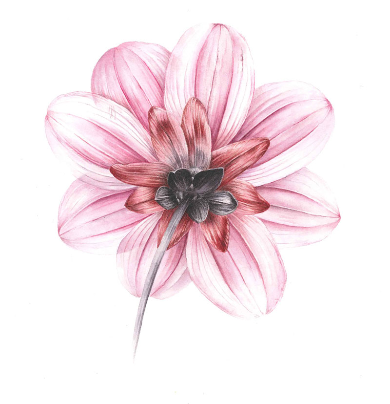Doodlewash - Watercolor botanical illustration by Jarnie Godwin pink dahlia underneath