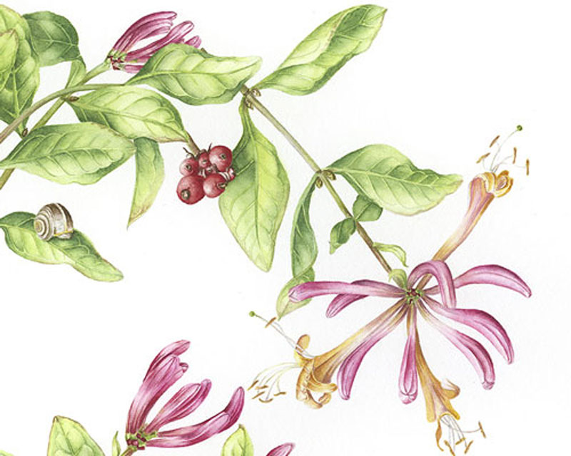 Doodlewash - Watercolor botanical illustration by Jarnie Godwin of flowers leaves and snail