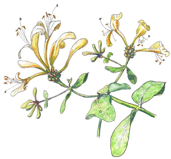 Doodlewash and watercolor sketch of honeysuckle of Marches Country Lady
