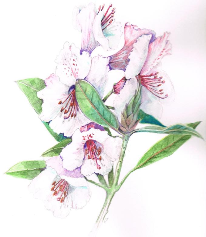 Doodlewash and watercolor of rhododendron by Marches Country Lady
