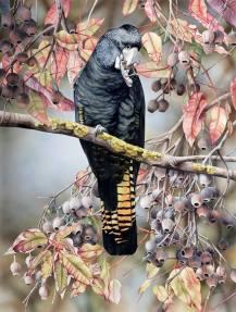 Doodlewash - watercolor painting illustration by Heidi Willis of black cockatoo on Gum Tree