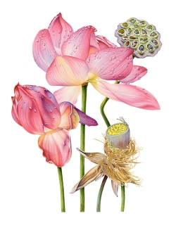 Doodlewash - watercolor painting illustration by Heidi Willis of Lotus Flower
