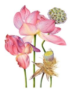 Doodlewash - watercolor painting illustration by Heidi Willis of Lotus Flower