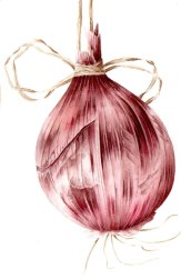 Doodlewash - Watercolor botanical illustration by Jarnie Godwin of red onion