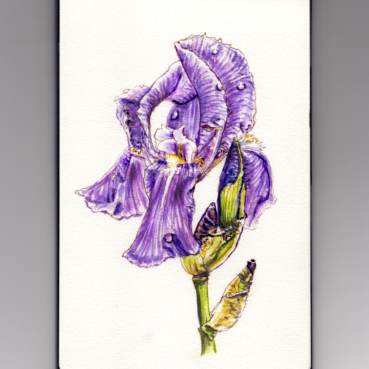 Doodlewash - #WorldWatercolorGroup My Favorite Flower Purple Iris