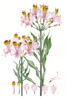 Doodlewash - Botanical Illustration by Işık Güner of Alstroemeria Pulchra © Royal Botanic Garden, Edinburgh
