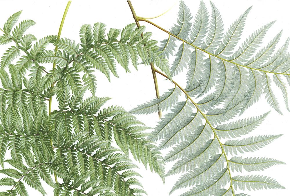 Doodlewash - Botanical Illustration by Işık Güner of Lophosoria Quadripinnata © Royal Botanic Garden, Edinburgh