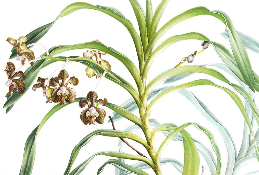 Doodlewash - Botanical Illustration by Işık Güner of Vanda brunnea