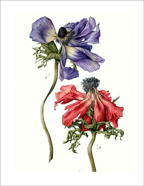 #Doodlewash - Watercolor Illustration by Julia Trickey - fading anemonies - #WorldWatercolorGroup