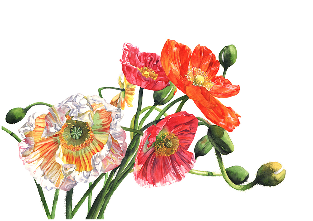 #WorldWatercolorGroup - Watercolor painting of poppies by Louise De Masi - #doodlewash