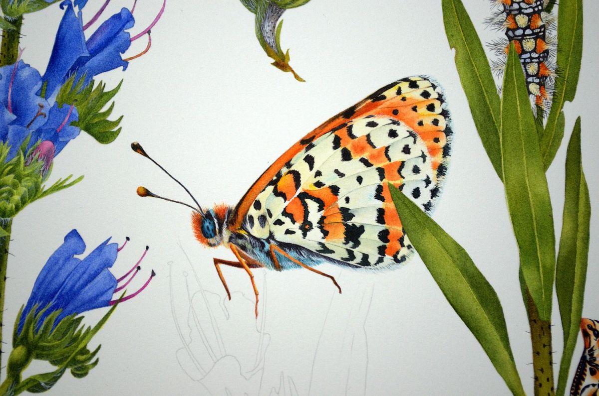 #WorldWatercolorGroup - Watercolor by Krzysztof Kowalski - Melitaea Didyma 05 - #doodlewash